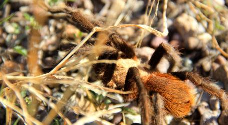 Tras años de maltrato, las tarántulas mexicanas recuperan su uso ecológico