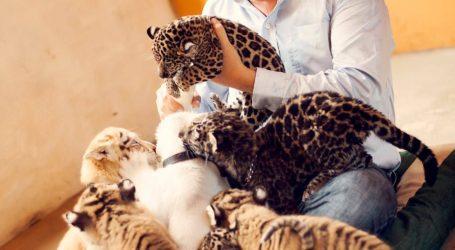 Baby Boom de cachorros de felinos en peligro de extinción en Zoológico de Vallarta